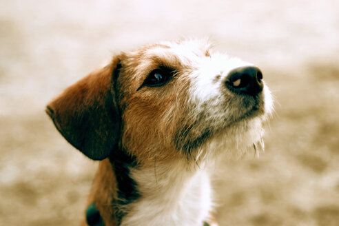 Terrier dog, close-up - RD00007