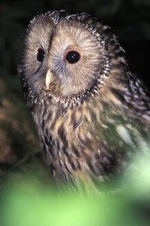 Habichtskautz, Ural Owl, Strix uralensis - EK00415