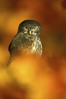 Eurasian Pygmy-Owl, close-up - EK00401