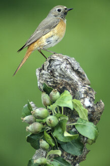 common redstart - EK00361