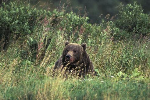 Kodiakbear, Ursus middendorffi, Kodiak-island, Alaska - EK00302