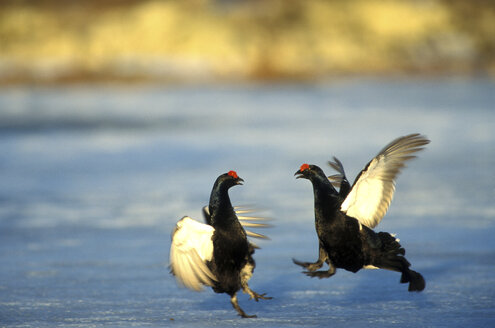 fighting Black Grouse - 00229EK