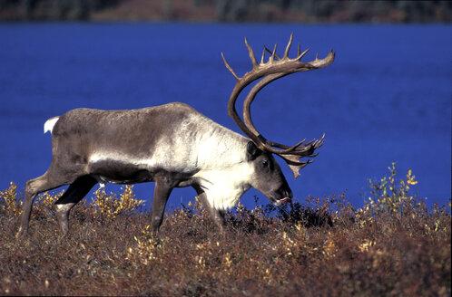 carribu, reindeer (Rangifer tarandus caribou - 00222EK