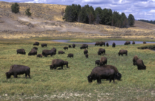 plains buffalo (Bison bison), in Yellowstone Nationalpark, USA - 00216EK