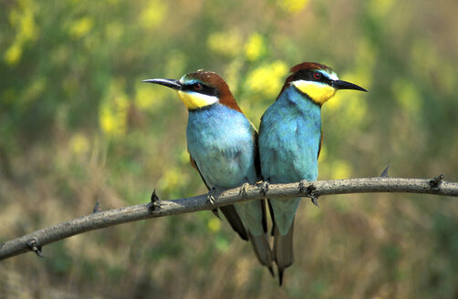 Male and female European bee eaters, close-up - 00183EK