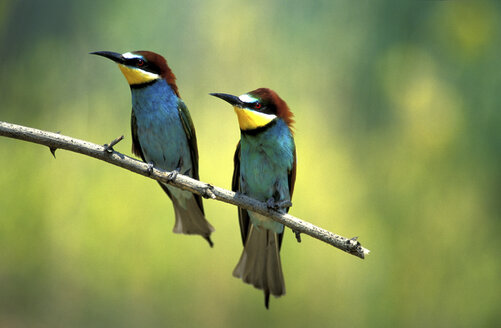Male and female European bee eaters - 00182EK