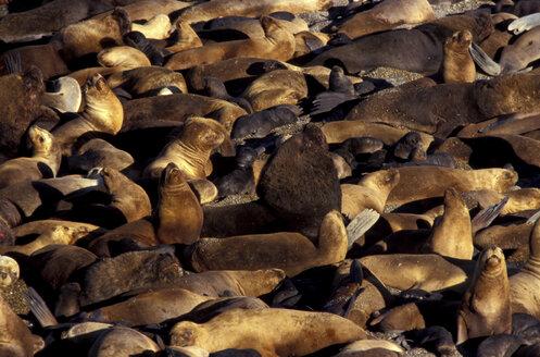 Seelions, Camadon de Durazuillo, Patagonia, Argentina - 00148HS