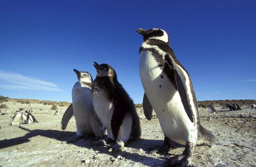 Magellan Pinguins in Patagonia, Argentina - 00117HS