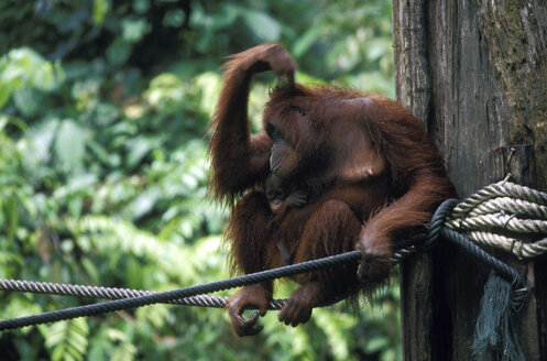 Orang-utan mother with a young one, Sabah, Sepilok Reserve near Sandakan, East Malaysia (Borneo) - 00106MB