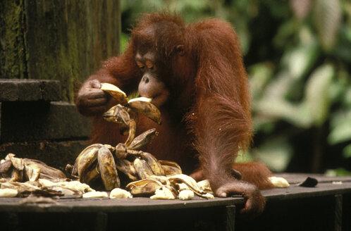 Sepilok Orang Utan Reserve, East Malaysia, Sabah (Borneo) - 00075MB