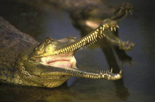 Crocodile, Nepal - 00309GN