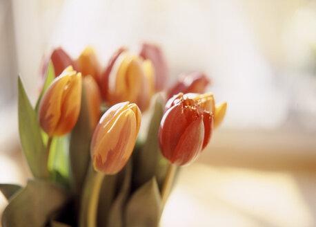 Tulip flowers, close-up - PE00141