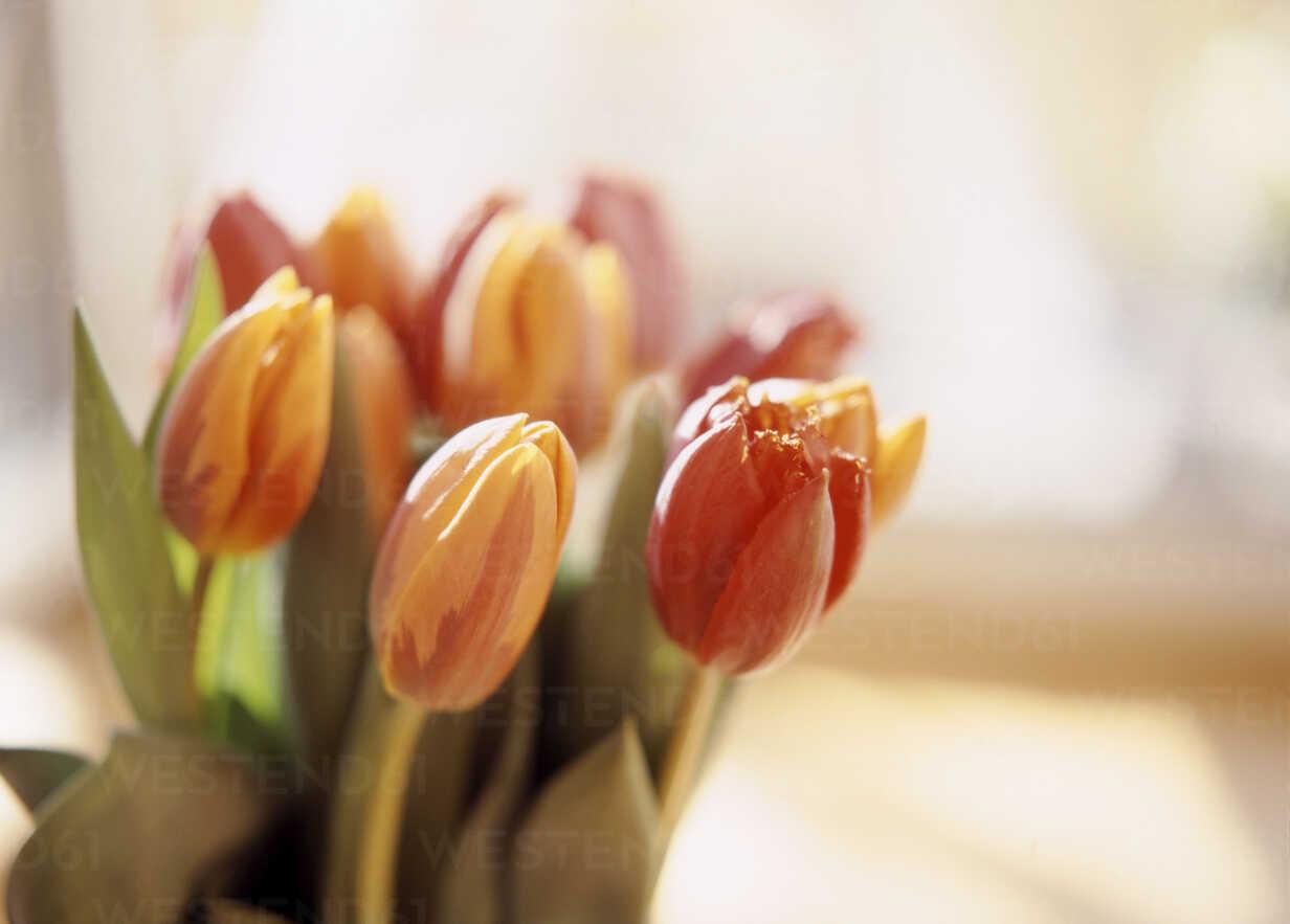Tulip flowers, close-up - PE00141 - Petrol/Westend61