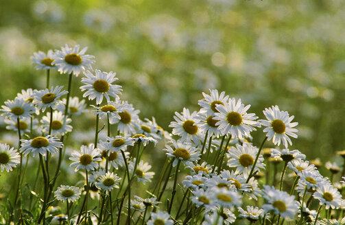 Marguerites, Chrysanthemum leucanthemum - EK00452