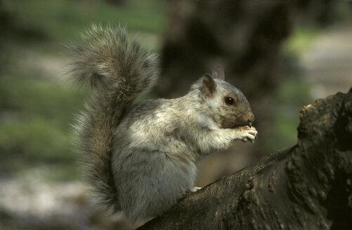 Black squirrel - 00068GS