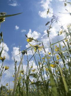 Germany, Bavaria, meadow in summer - PEF00336