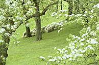 Austria, large group of sheep grazing - HHF00034