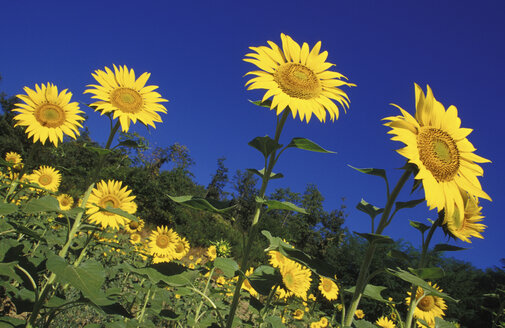 Italy, Tuscany, Sunflowers - 00293GS