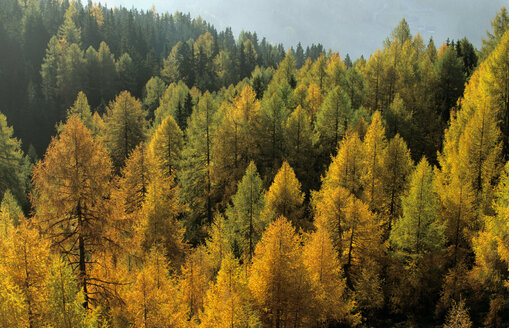 Austria, Hohe Tauern National Park, Larches forest - 00255EK