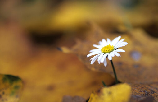 Daisy between autumn foliage - 00254EK