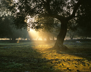 Italy, Olive tree at sunrise - MOF00062