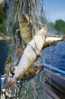 Fish in the net, Sweden, 2004 - SH00021