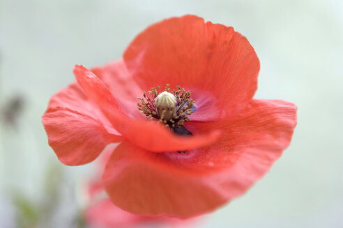 Corn poppy red flower head - MNF00072