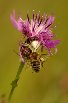Crab spider with honeybee - EK00562