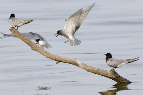 Terns sitting on branch in river, side view - EKF00541