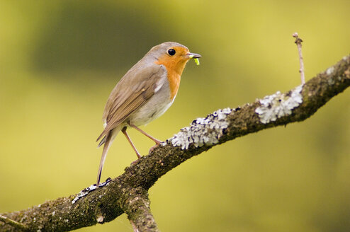 Robin perched on branch (Erithacus rubecula) - EKF00535
