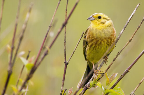 Yellowhammer on branch, close-up - EKF00507