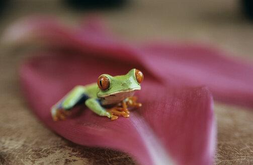 Frog sitting on a leaf, Costa Rica - PE00379