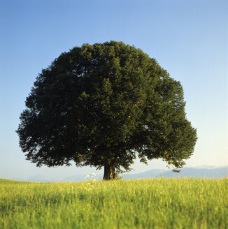 Tree in field - MB00186