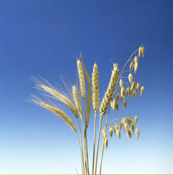 Wheat, oat and barley - MB00533