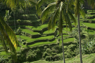 Indonesia, Bali, rice fields - RM00113