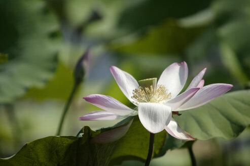 Lotus, close-up - KM00070