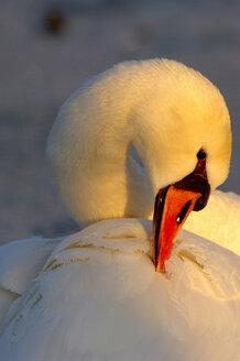 Mute swan, close-up - EKF00605