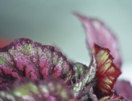 Begonia exotica, close-up - HOEF00234