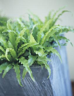 Fern in flower pot, close-up - HOEF00181