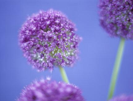 Allium Giganteum - HOEF00171