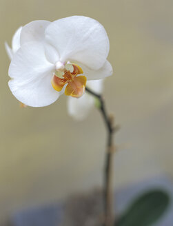 White orchid, close-up - HOEF00168
