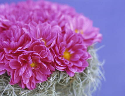 Pink dahlias and curling moss, close-up - HOEF00154