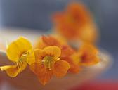 Nasturtium in bowl, close up - HOEF00118
