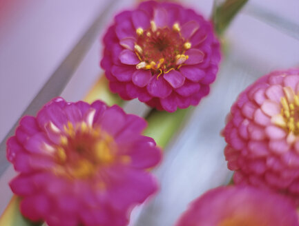 Zinnias, close-up, elevated view - HOEF00107