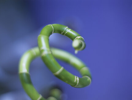 Annulated bamboo, close-up - HOEF00104