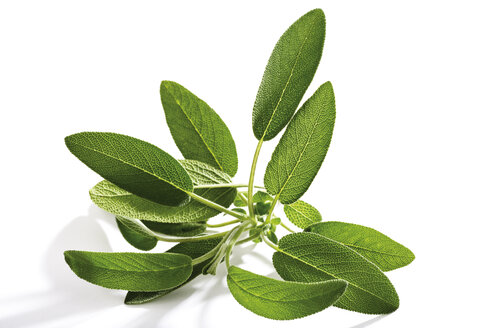 Sage, Salvia officinalis - 03634CS-U