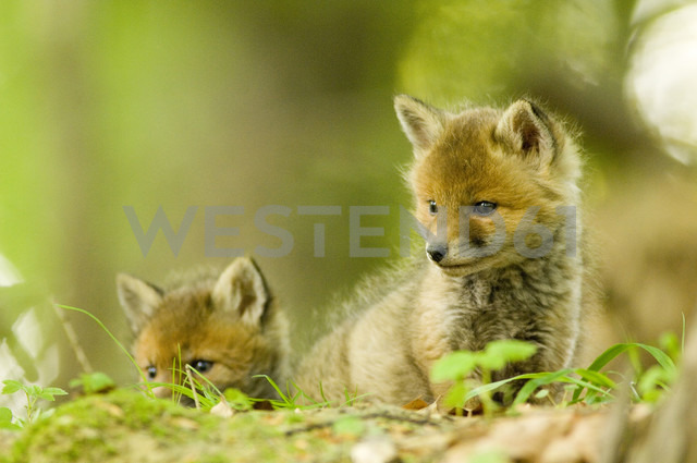 Red fox whelps in forest - EKF00715 - Erich Kuchling/Westend61