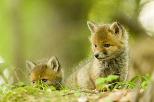 Red fox whelps in forest - EKF00715