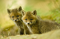 Red fox whelps in forest - EKF00712