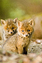 Red fox whelps in forest - EKF00709